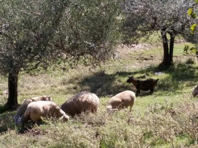 fattoria-angelucci-cannara-1