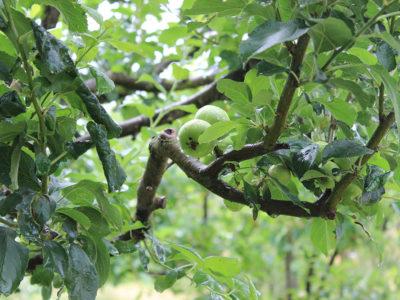 pianta-da-frutto